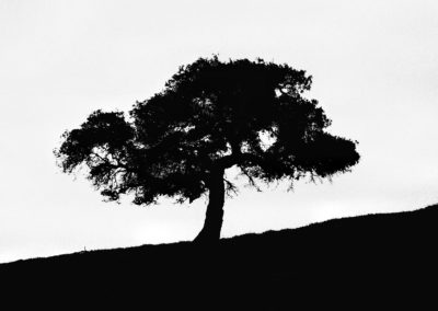 central cal one tree bw